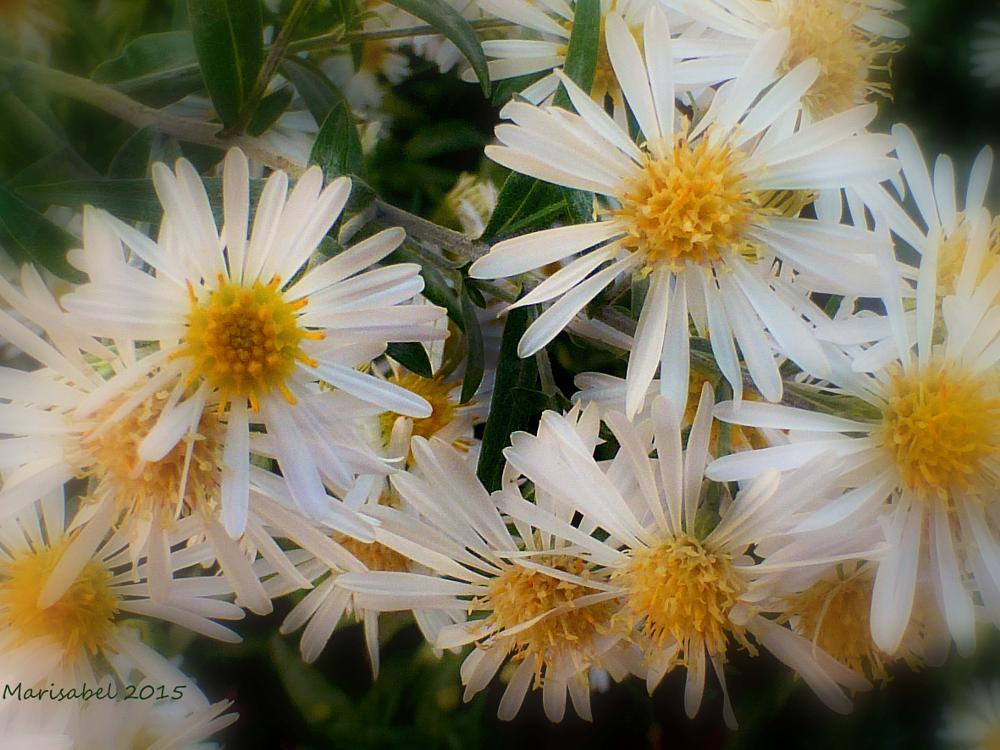 Photo in Nature #margaritas pequeñas muy bell