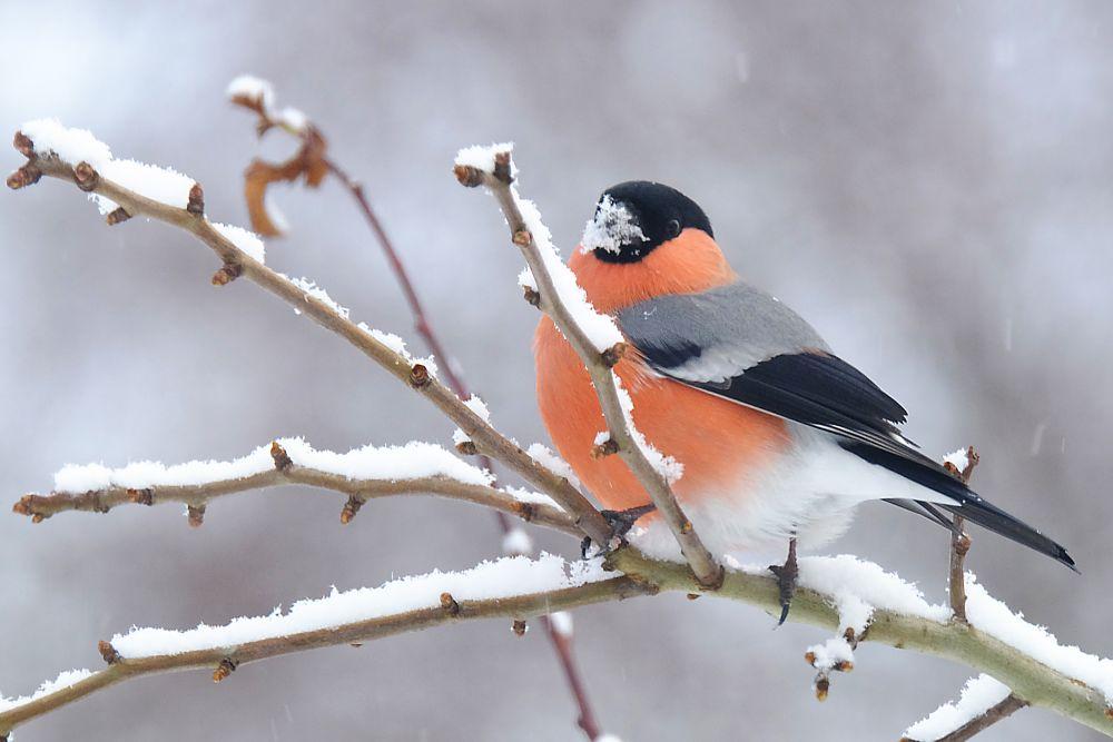 Photo in Nature #birding #wildbird #snowy #tree #twig #bullfinch #finch #nature #dompap #fujifilm x-t1