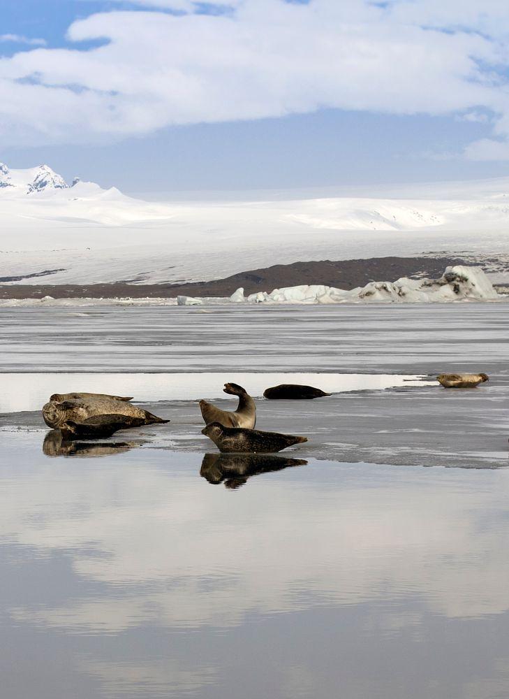 Photo in Animal #seals #jökulsárlón #iceland