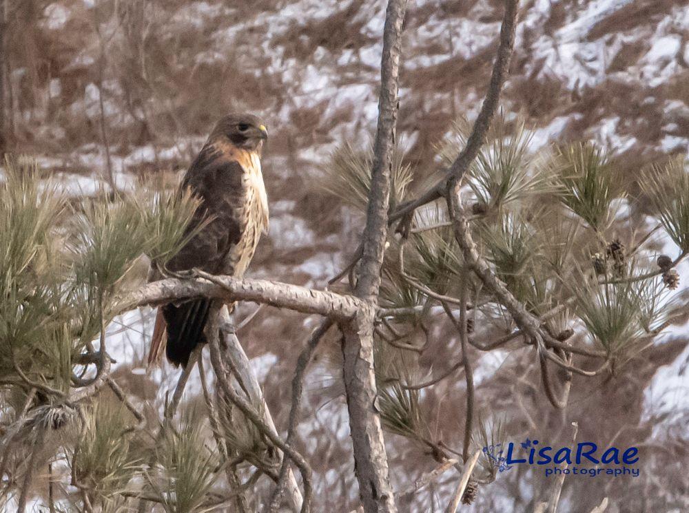 Photo in Nature #bird #hawk #new hampshire