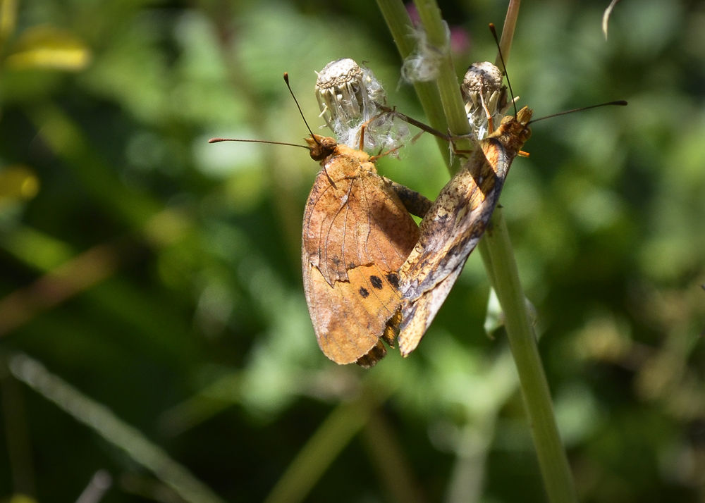 Photo in Nature #acasalamento borboleta #borboletas