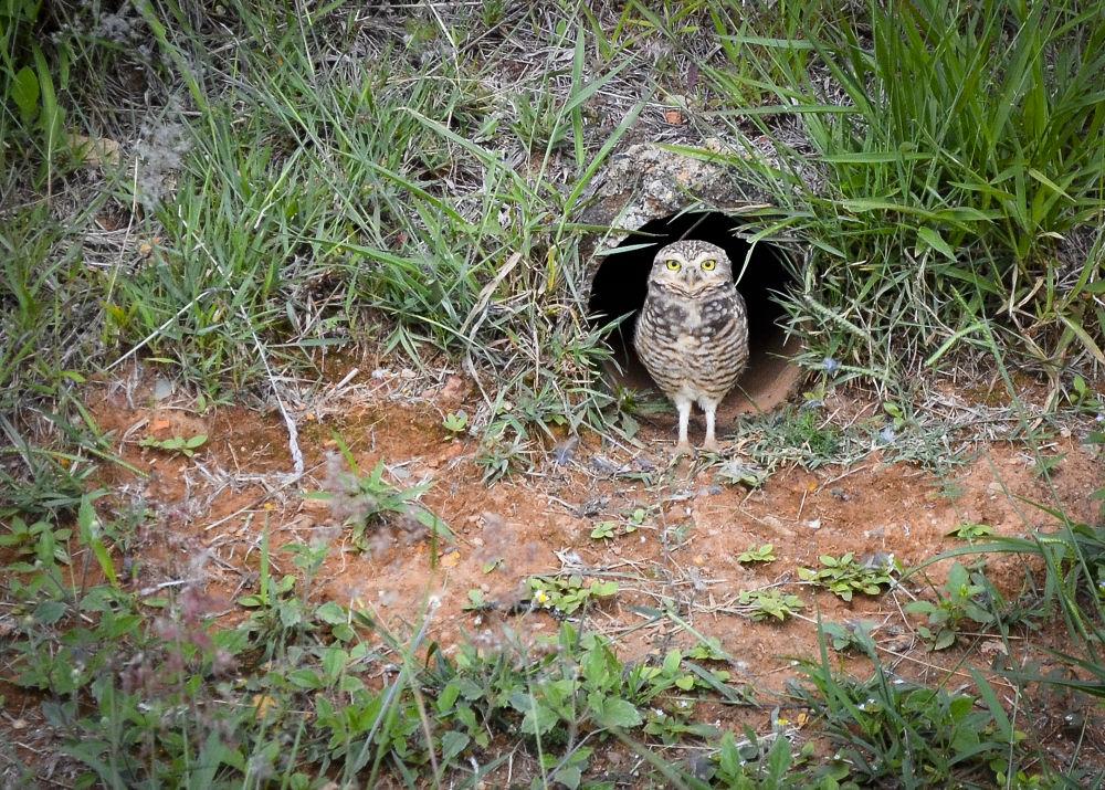 Photo in Animal #coruja #buraqueira #animal