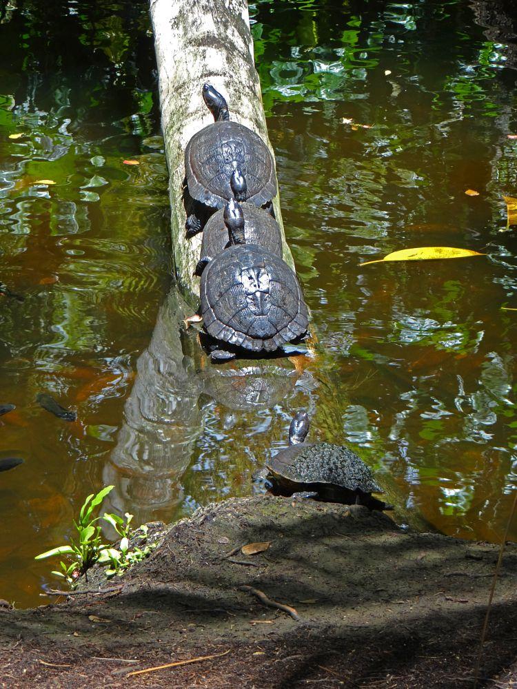 Photo in Animal #turtle #reptile #animal