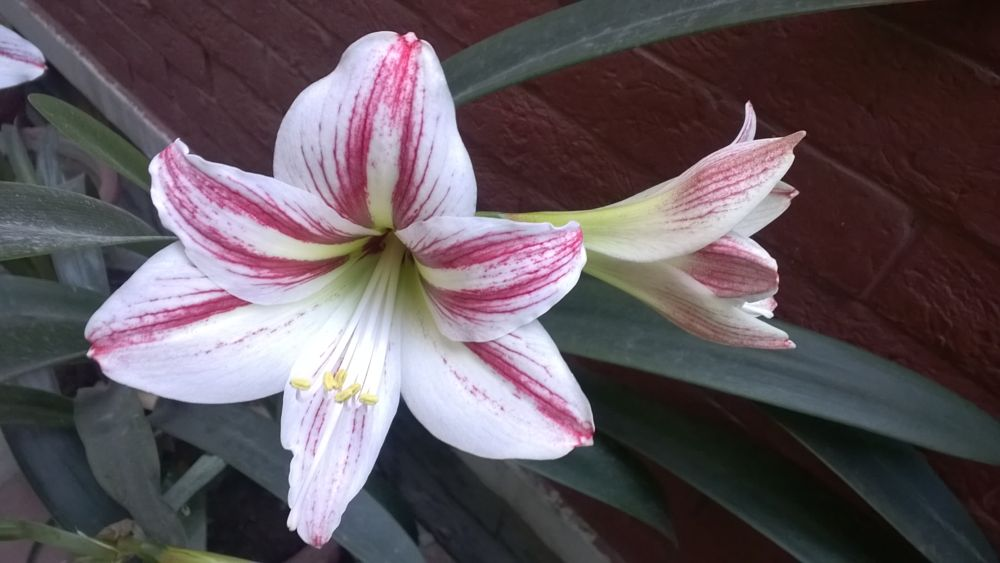 Photo in Nature #lity #white lily #flowers are ever beautiful