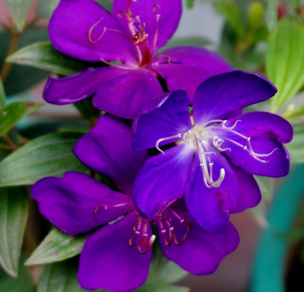 Photo in Nature #flowers #violet beauty #flowering beauty