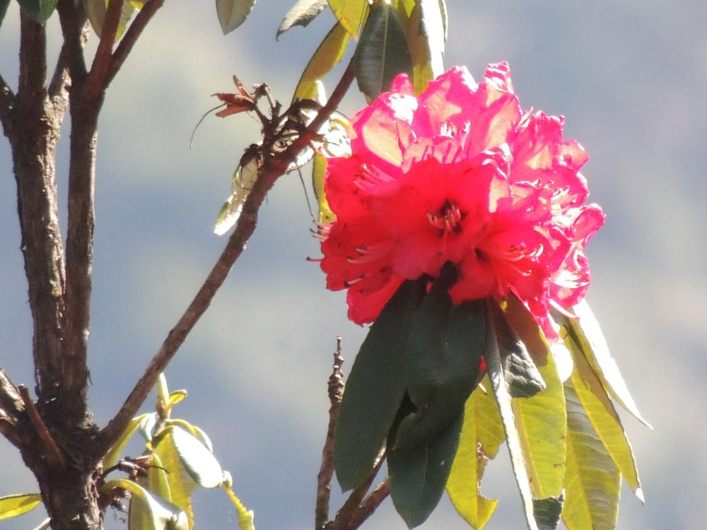 Photo in Nature #flower #rhododendron #nature
