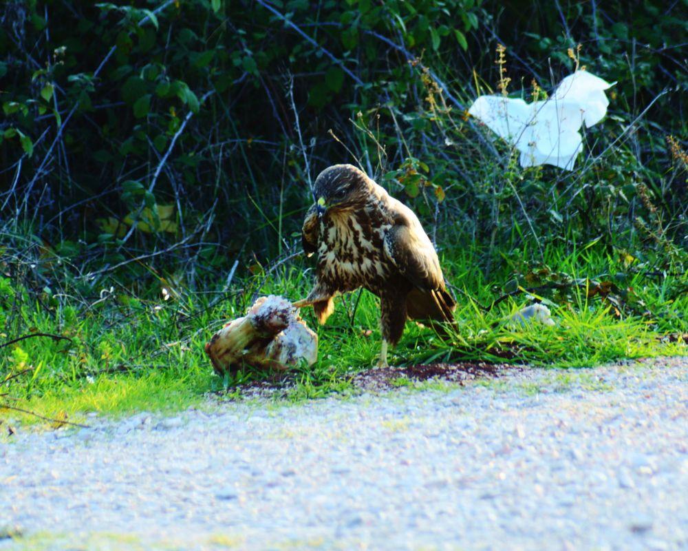 Photo in Animal #hawk #meal #koronisia #bird