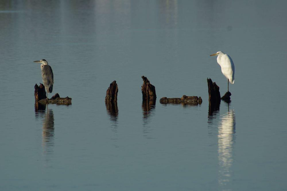 Photo in Animal #bird #nature #heron #lagoon #messolonghi #tourlida