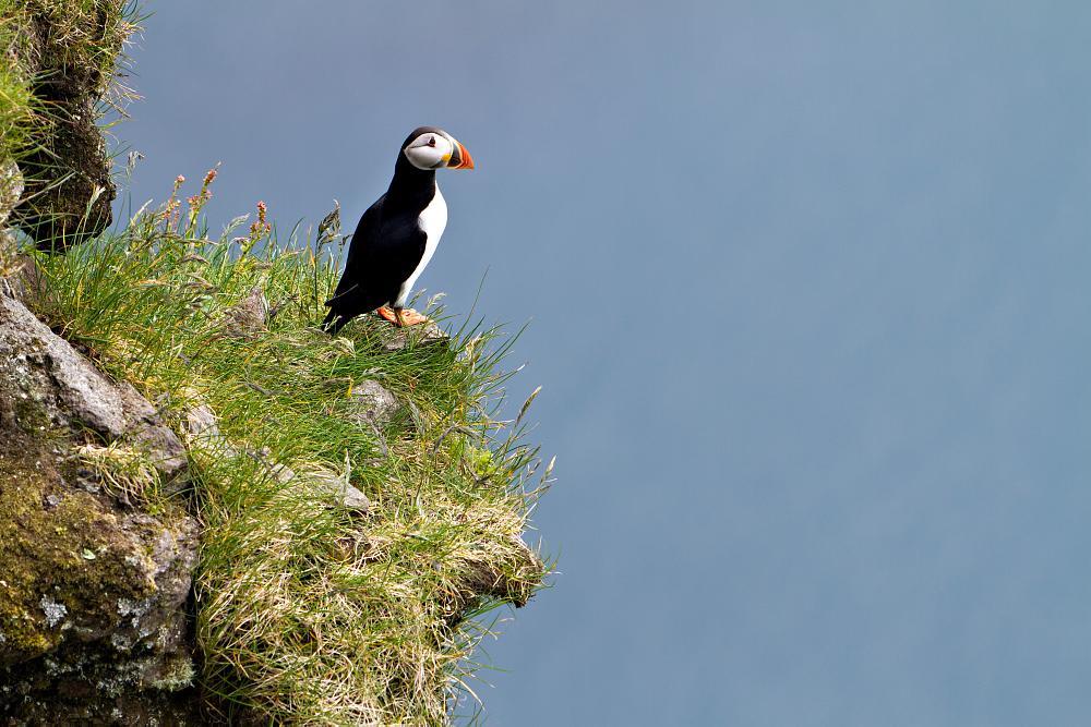 Photo in Animal #atlantic puffin #lundi #faroe islands