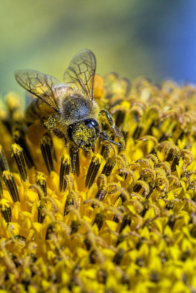 Photo in Macro #bee #sunflower #flowers #nature