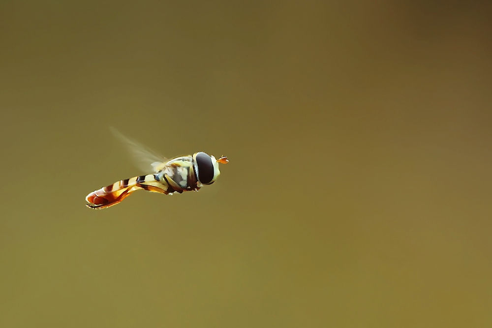 Photo in Macro #hoverfly #nature #macro #animal #freezing