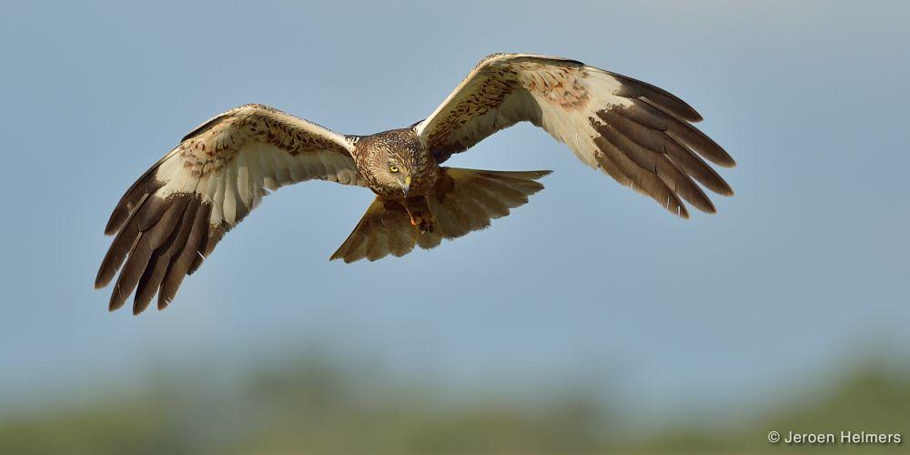 Photo in Animal #western marsh harrier #circus aeruginosus #bruine kiekendief #birds