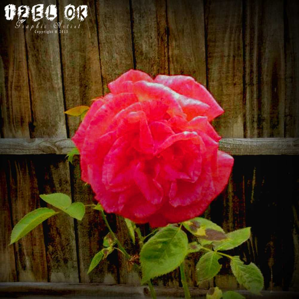 Photo in Nature #flowers in garden #photograph. #editted #iz oa #flowers #pink #red #photoshop