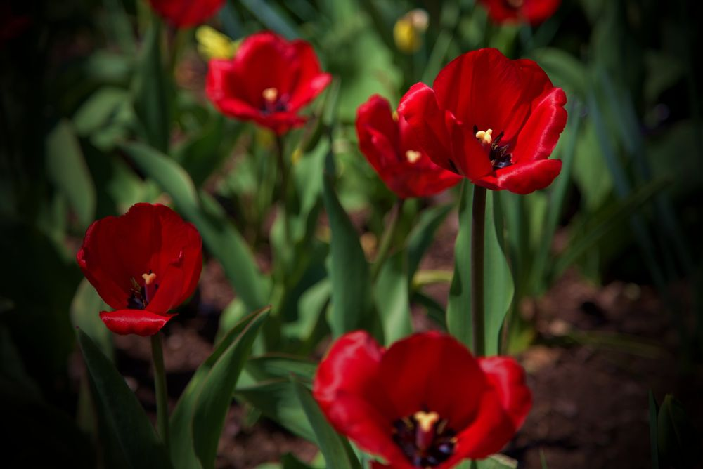 Photo in Nature #red flowers #tulips #flowers #spring colors