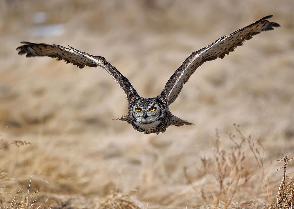 Photo in Random #owl #nature #in flight