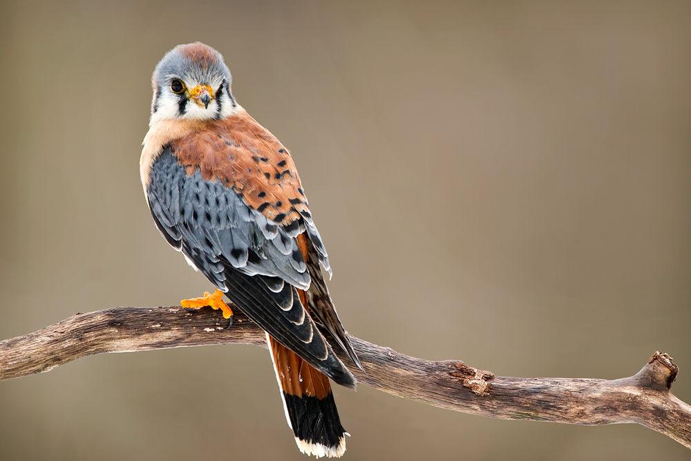 Photo in Animal #kestrel #bird