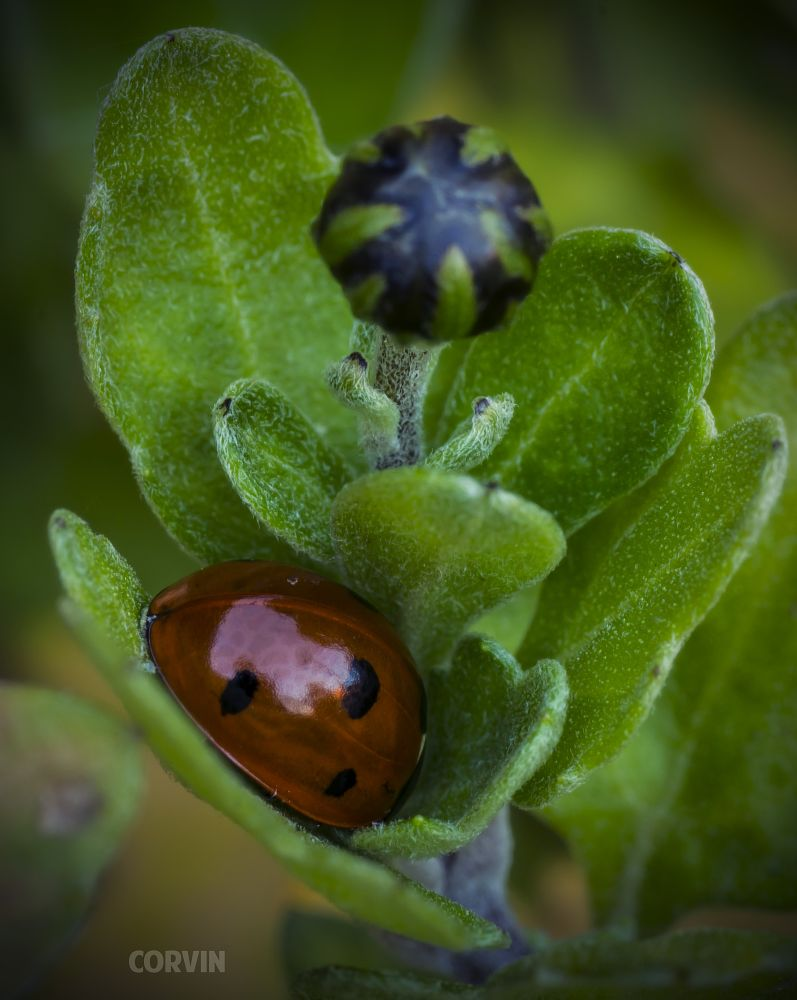 Photo in Macro #ladybug #hiding #green #flower #plant #nature
