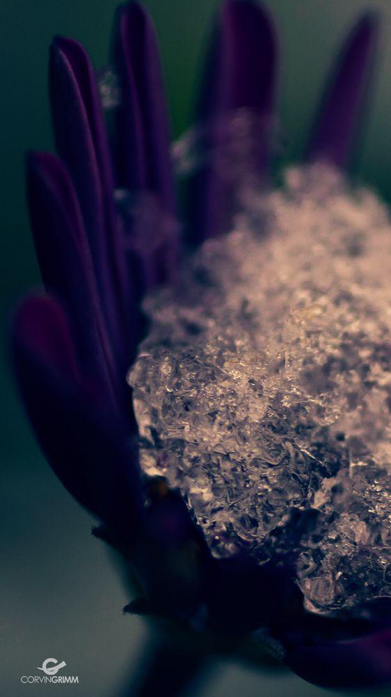 Photo in Macro #flower #winterized #ice #marguerite #dogdaisy