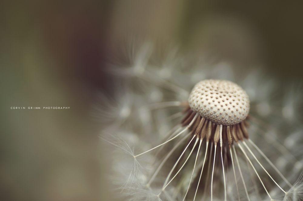 Photo in Random #dandelion #nature #plant #flower #macro