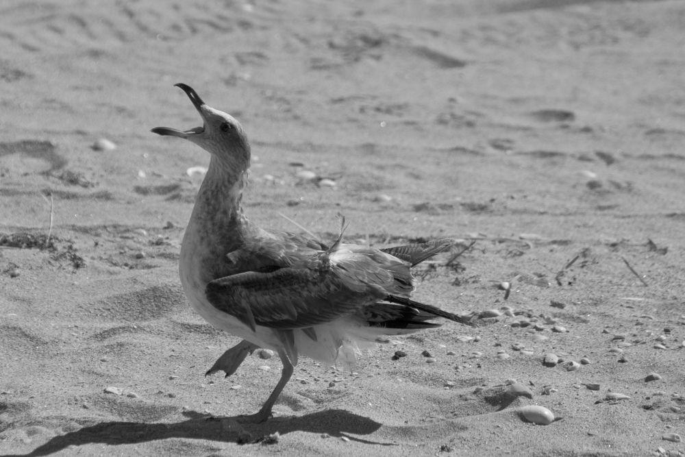 Photo in Animal #seagull #dance #sand #sea #ocean #beach #bird