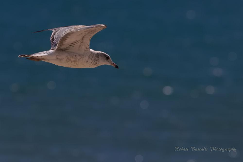 Photo in Animal #sea.seagull #ocean #water #bird