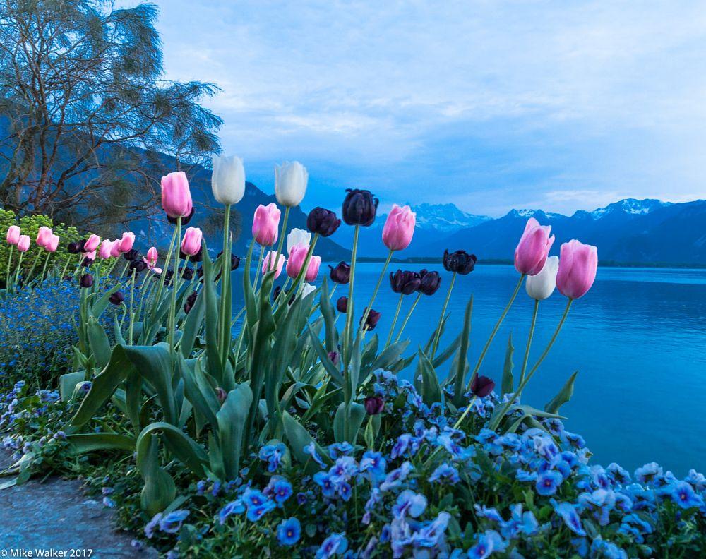 Photo in Travel #lac leman #switzerland #tulips #flowers #pink #white #black #water #mountains #lake geneva