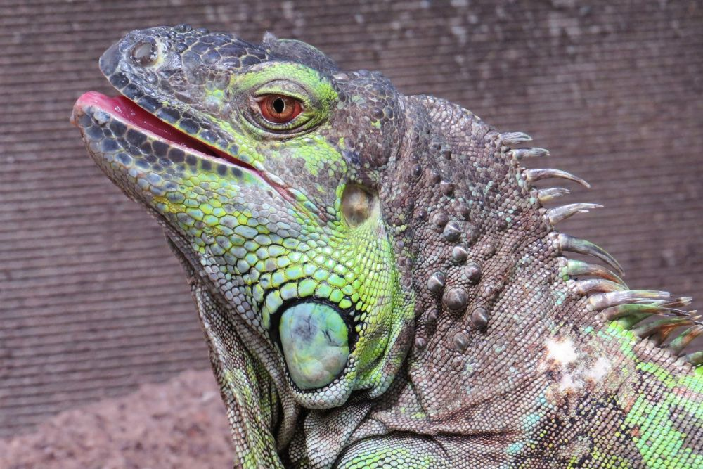 Photo in Animal #reptile #bearded dragon #butterfly world western cape