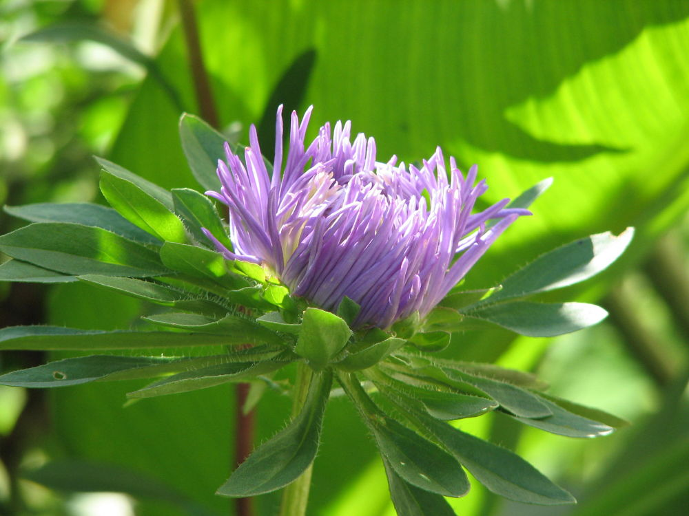 Photo in Nature #aster