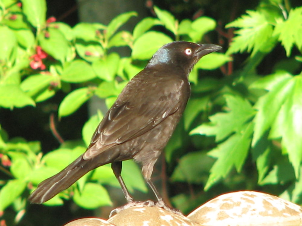 Photo in Nature #grackle #bird