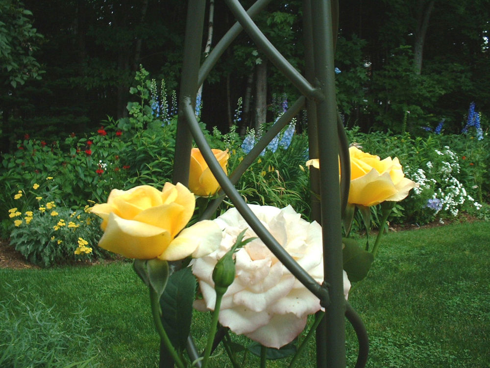 Photo in Nature #yellow rose #obelisk