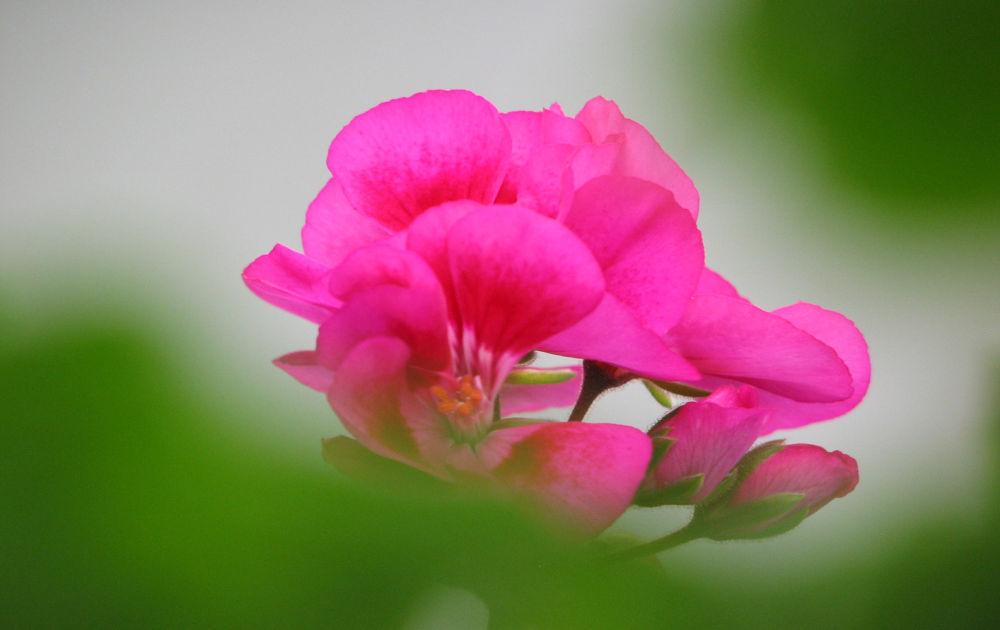 Photo in Nature #pink geranium