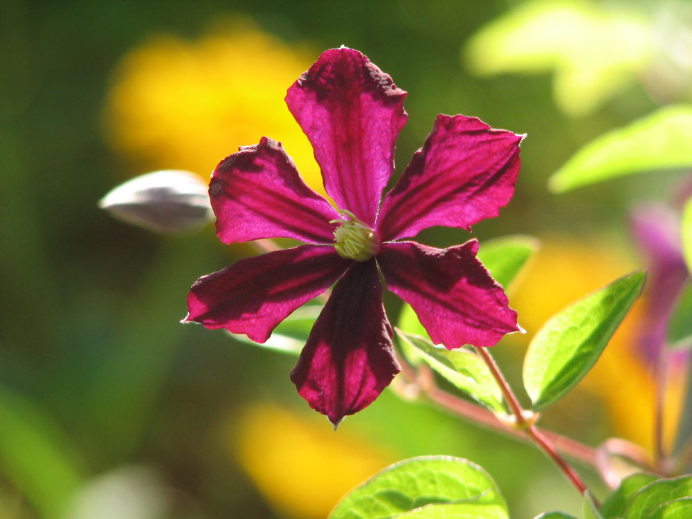 Photo in Nature #clematis