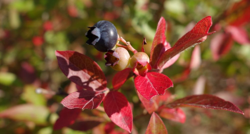 Photo in Macro #red leaves #blueberries #fall #autumn