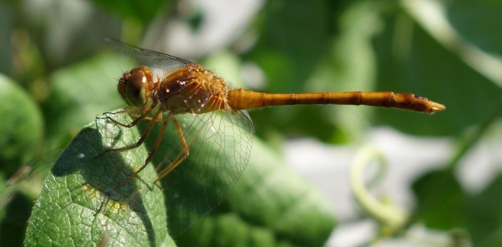 Photo in Macro #insect #dragon fly #bean leaf #wings