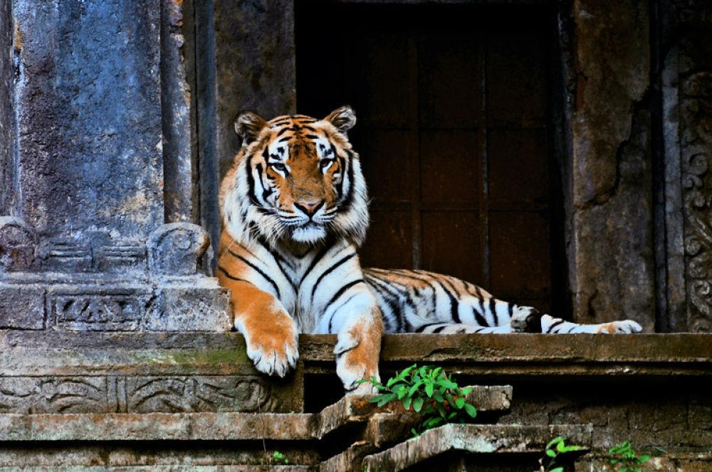 Photo in Animal #animal #tiger
