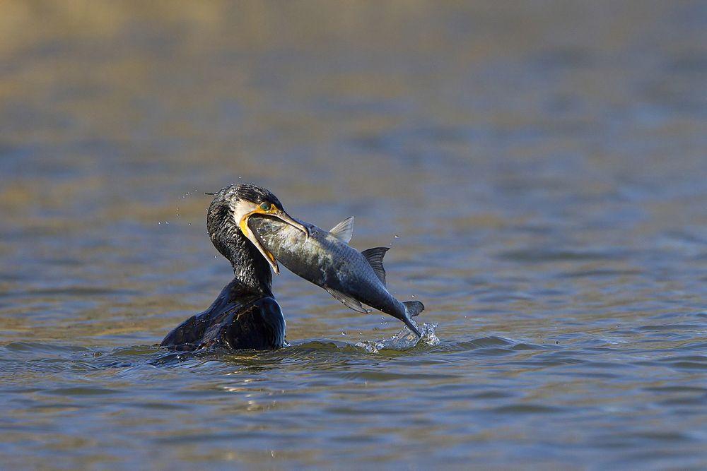 Photo in Animal #cormorano #phalacrocorax carbo #great cormorant #preda #prey