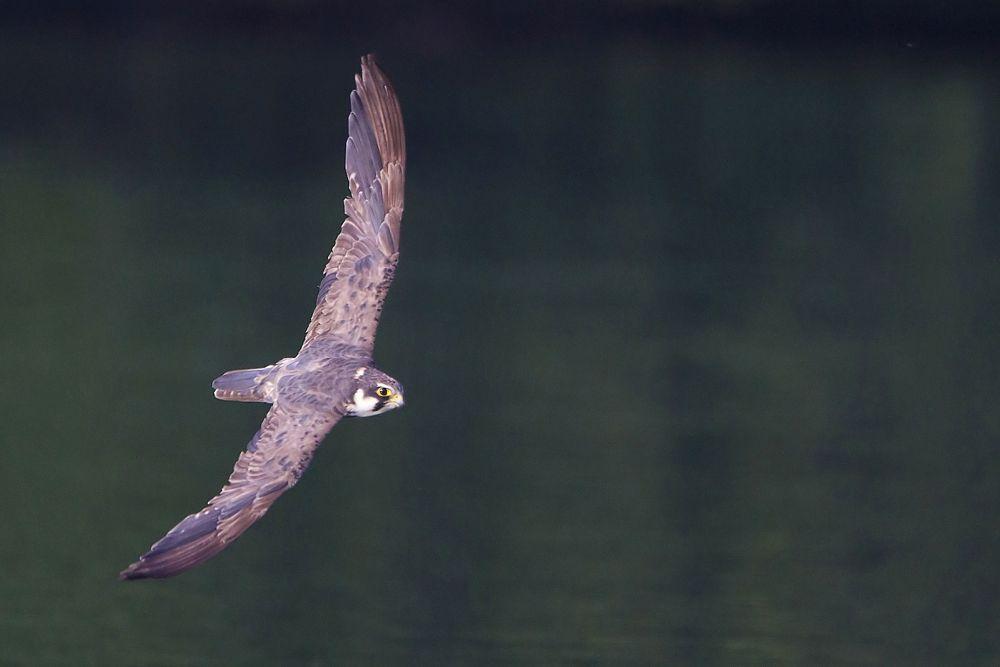 Photo in Animal #lodolaio #falco subbuteo #eurasian hobby #rapaci #predatori