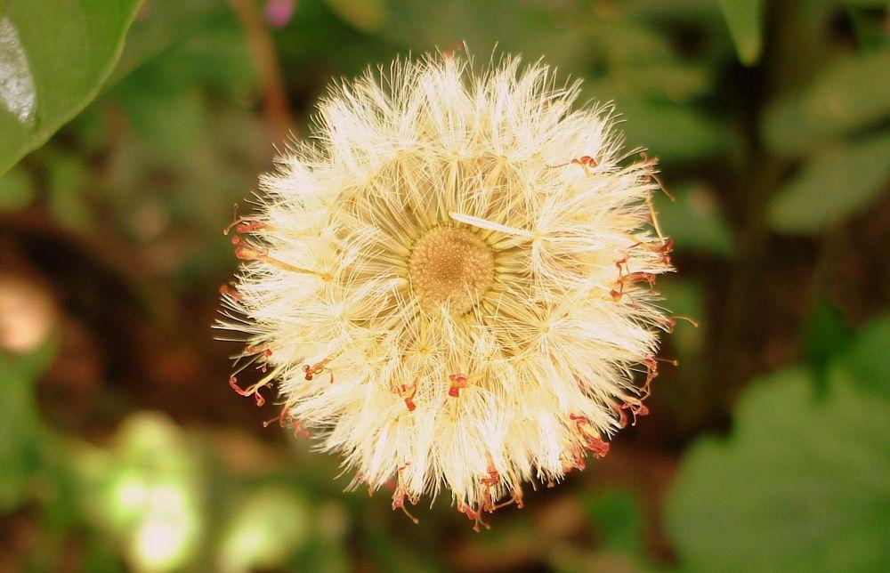 Photo in Nature #gerbera #seeds #beautiful