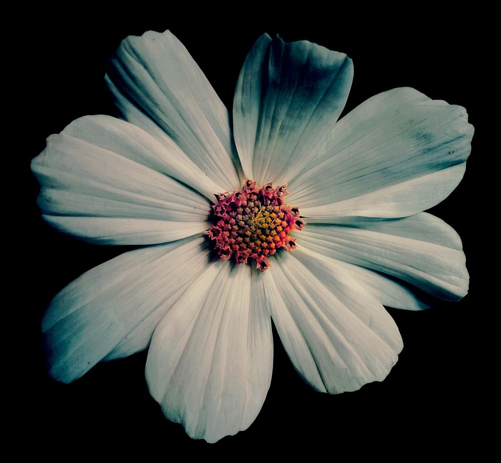 Photo in Nature #flower #random #macro #white #flore #garden #fleur #nature #jardin #cosmos