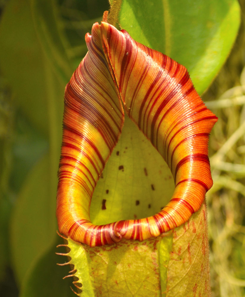 Photo in Nature #flower #pitcher flower #plant #nature #natural #rare
