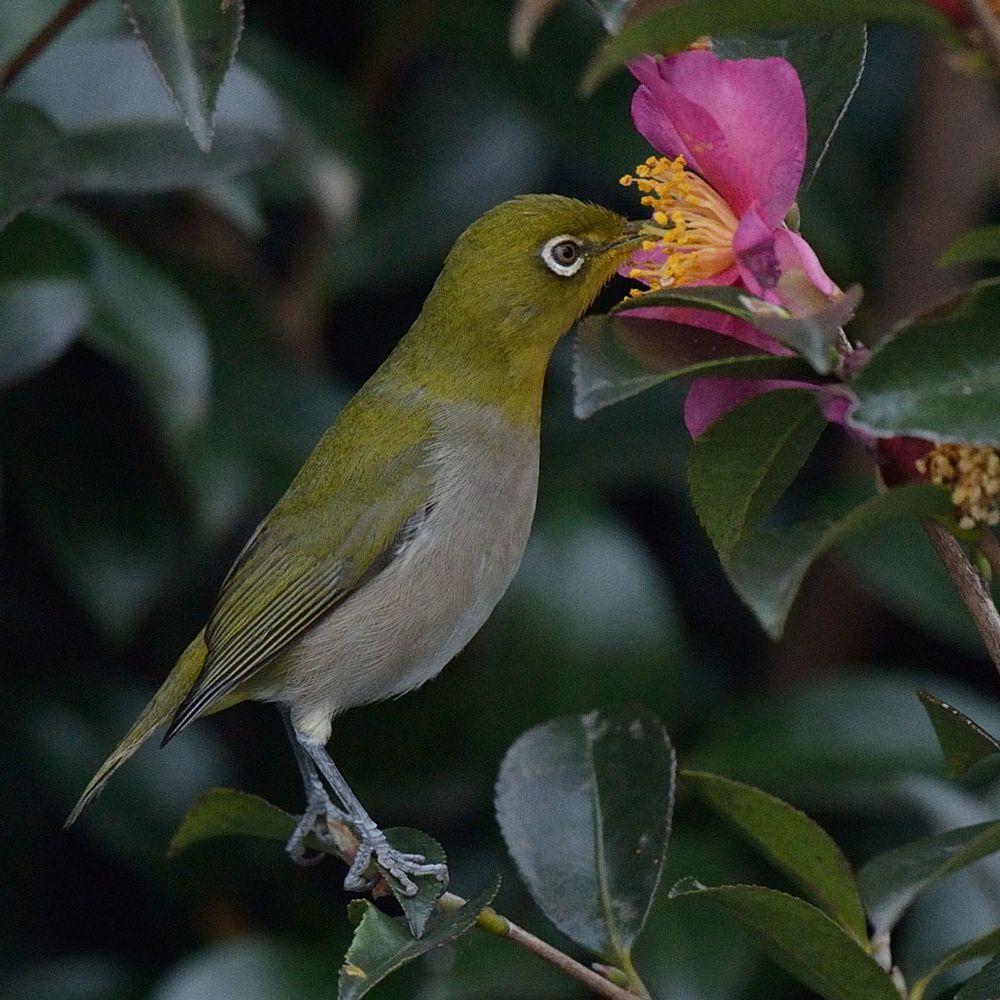 Photo in Nature #bird #white-eye #camellia