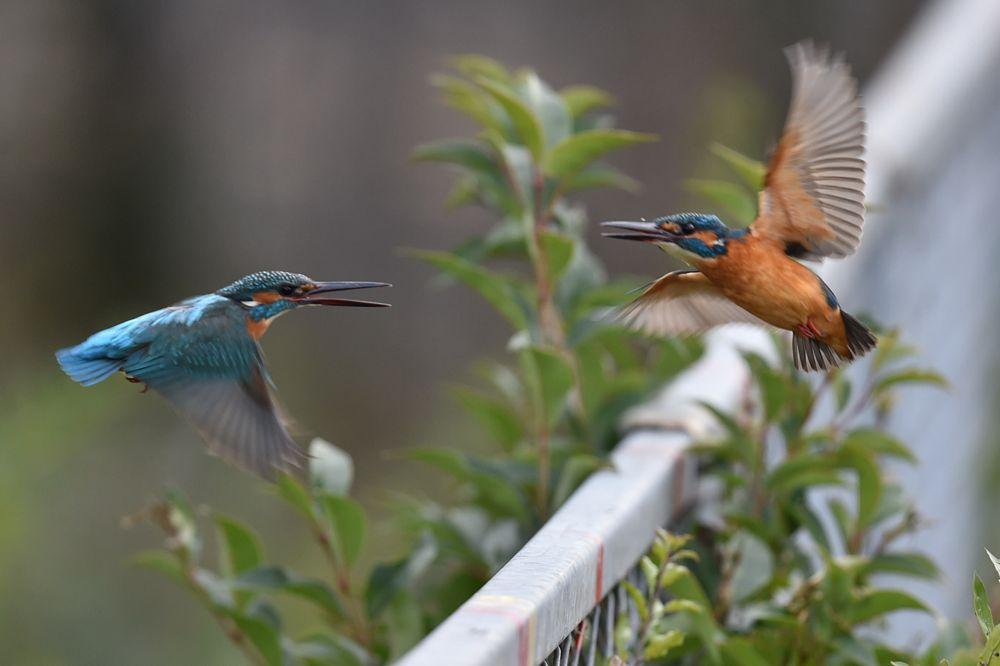 Photo in Nature #kingfisher #bird #animal