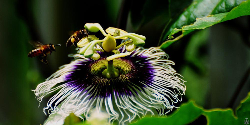 Photo in Animal #maracuja flower #bees #reklewski