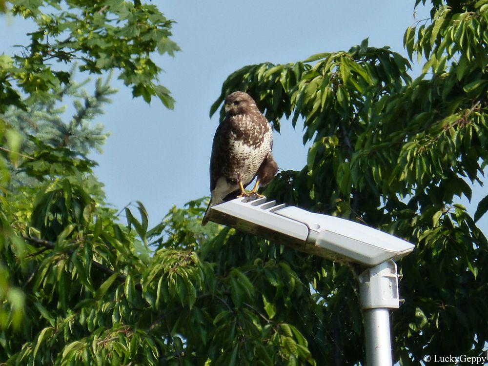 Photo in Animal #animal #bird #buzzard