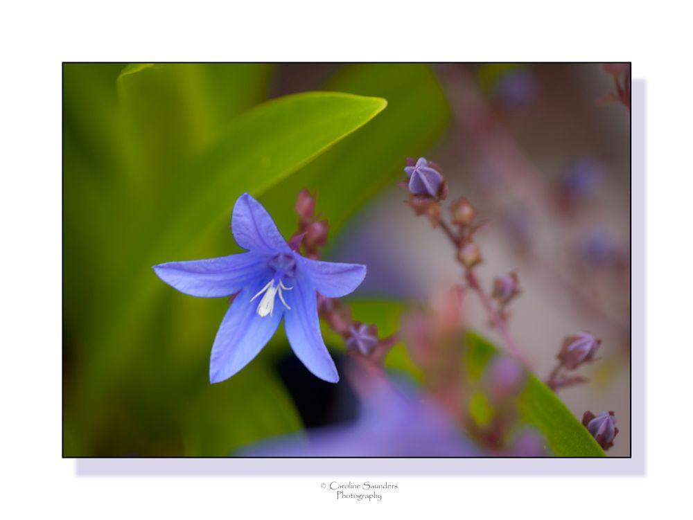 Photo in Macro #campanella #flower #macro #bell #garden #perennial #summer