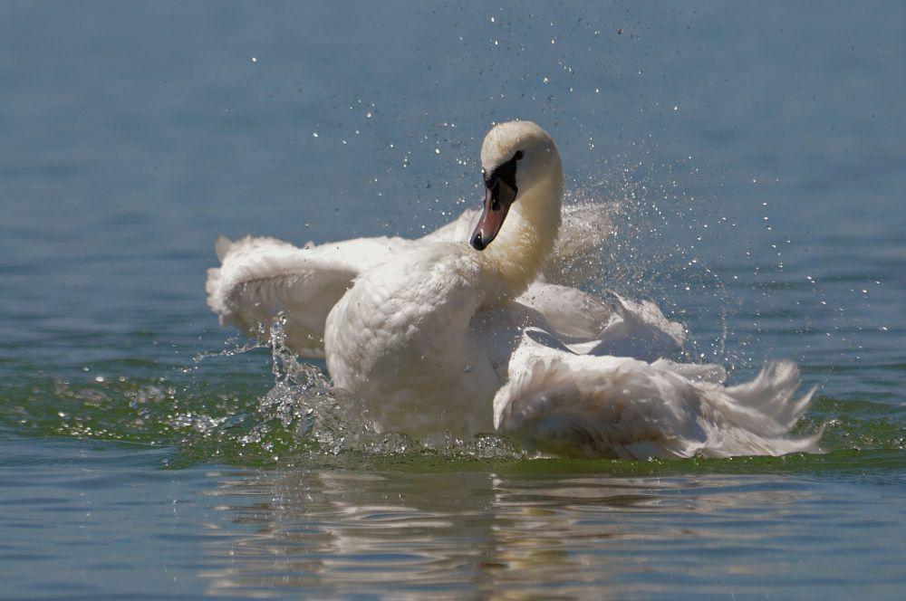 Photo in Animal #cygne. #swan. #cisnes. #oiseau. #schwan.