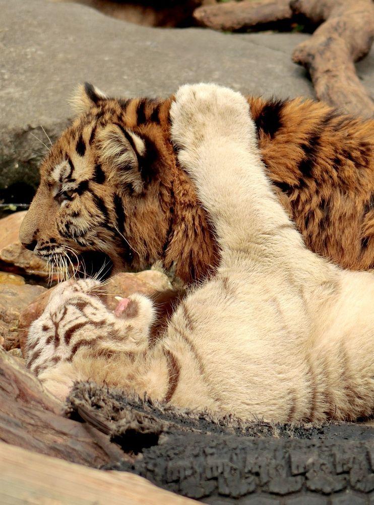 Photo in Animal #tigers #panyu chimelong zoo #china