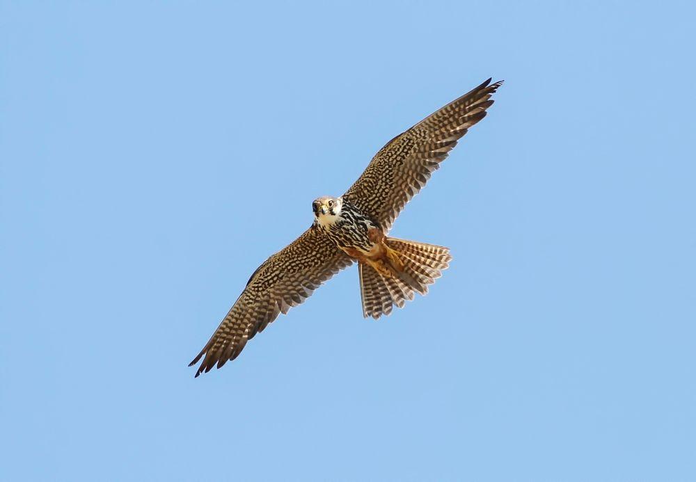 Photo in Animal #eurasian hobby #bird #birds