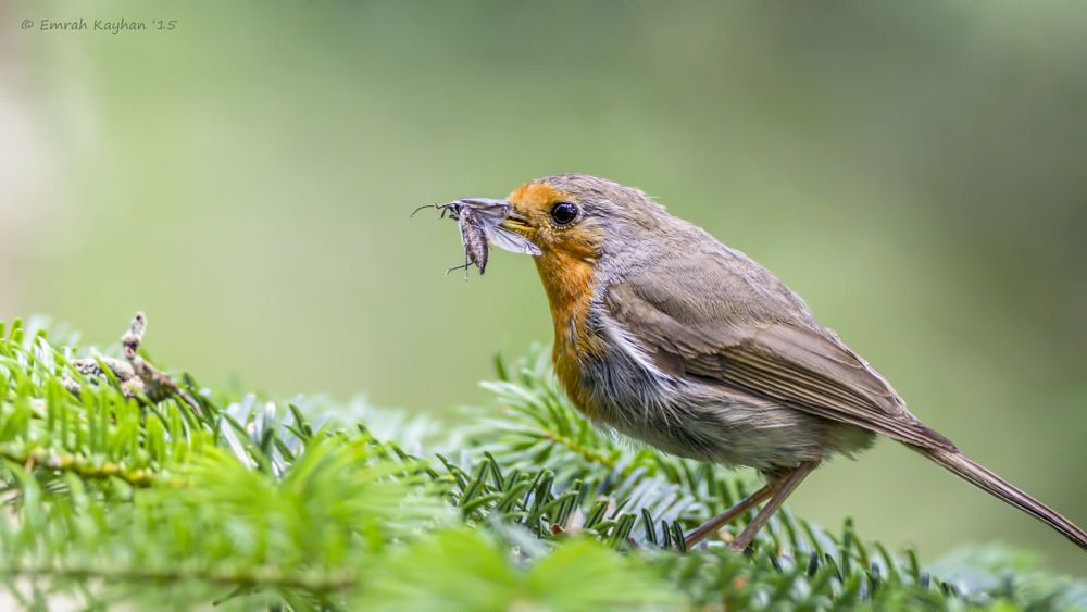 Photo in Animal #european robin #bird #birds