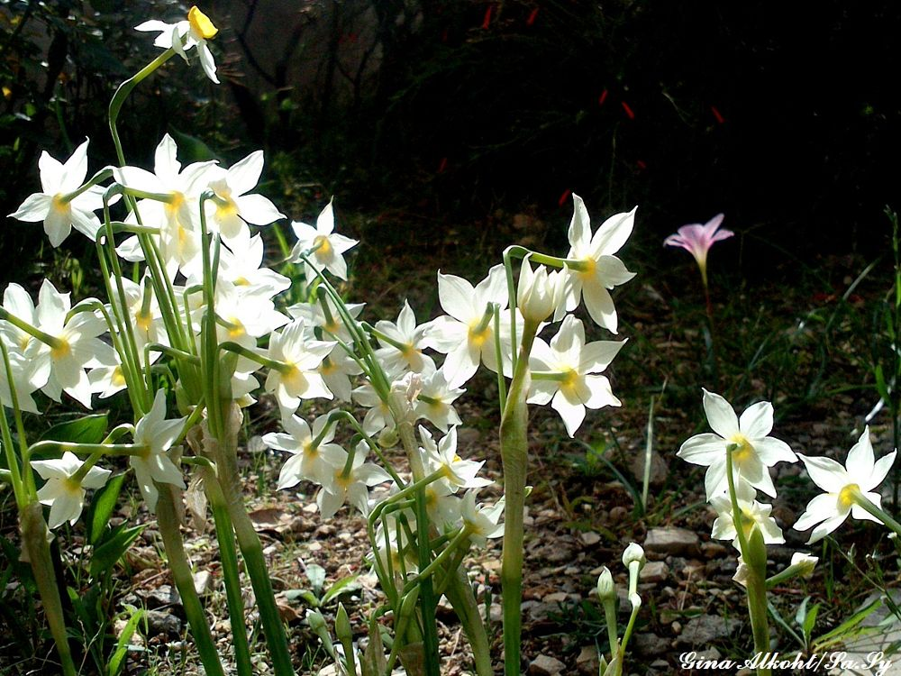 Photo in Nature #daffodils #flower #autumn